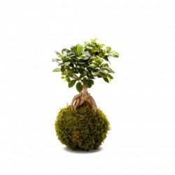 KOKEDAMA GINSENG (exclusivement en magasin)