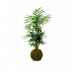 KOKEDAMA CHAMADOREA (exclusivement en magasin)